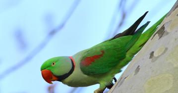 Кофейные плантации помогают сохранить популяцию редких птиц